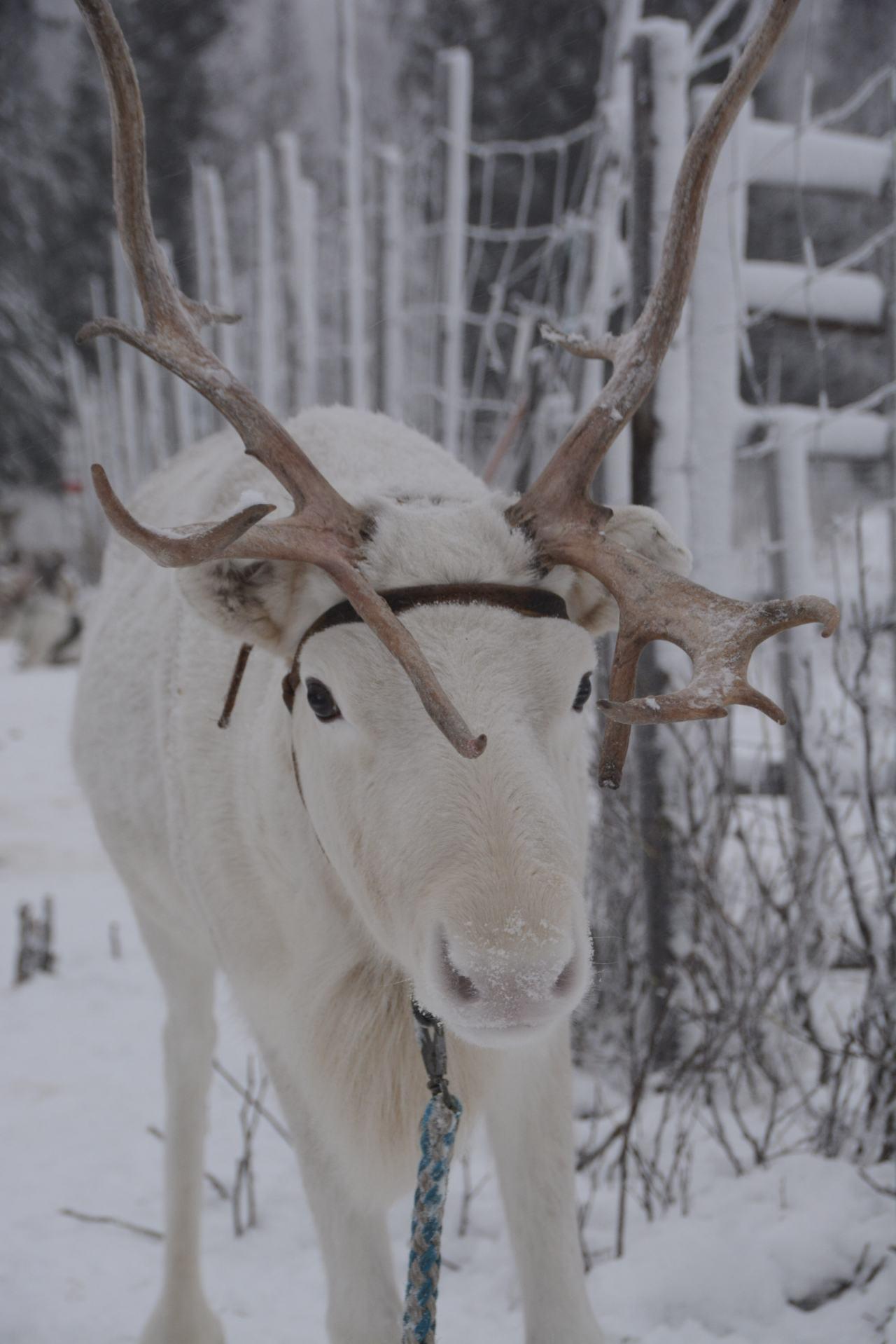 Rendiersafari & nachtelijke sneeuwscootertocht